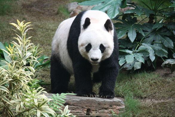 Ο ζωολογικός κήπος του Βερολίνου γιορτάζει τη γέννηση δίδυμων πάντα