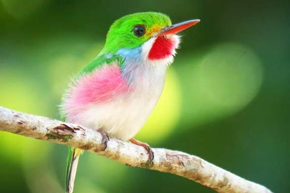 Το μικρότερο πουλί στον κόσμο είναι ελαφρύτερο από ένα κέρμα