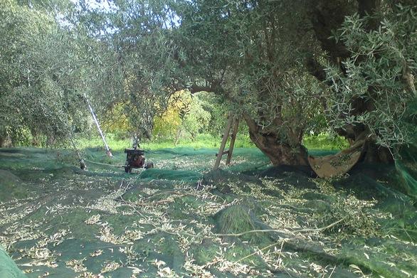 Αχαΐα: Στα κλαδιά ακόμα οι ελιές - Ζητούνται εργατικά χέρια για το μάζεμα τους