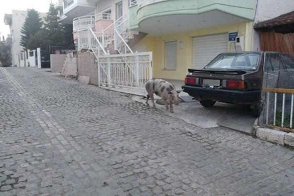 """Γουρουνάκι το """"έσκασε"""" και άρχισε να κάνει βόλτες στην Κοζάνη (video)"""