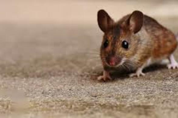 Ποντίκια εμφανίστηκαν σε σχολείο της Πάτρας