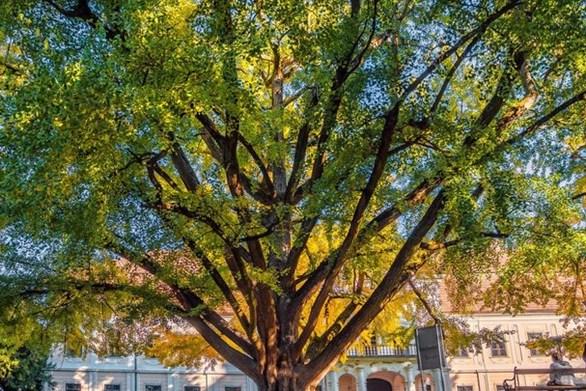 """Ποιο είναι το """"ερωτευμένο"""" δέντρο που διεκδικεί πρωτιά σε ευρωπαϊκό διαγωνισμό"""