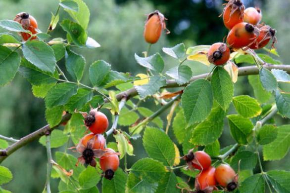 To φυτό που καταπραΰνει κρυολόγημα και πόνους στις αρθρώσεις
