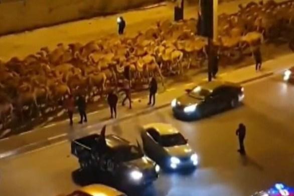 Λιβύη - Οι καμήλες φεύγουν από την Τρίπολη (video)