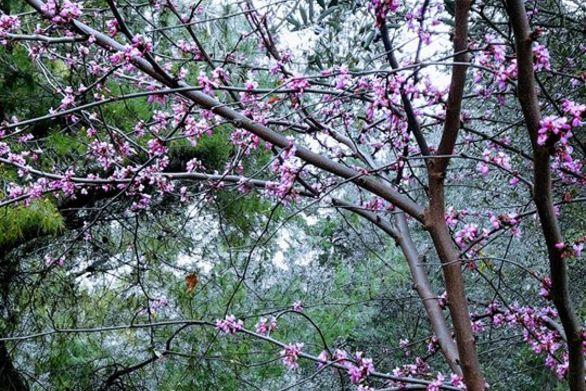 Κάπου στην Αχαΐα - Οι αμυγδαλιές άνθισαν στη λαίλαπα του κορωνοϊού!