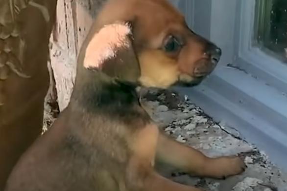 """Μικροσκοπικό κουτάβι """"ερωτεύτηκε"""" Μεγάλο Δανό (video)"""