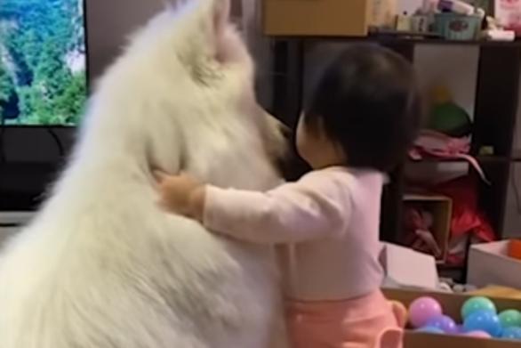 Κοριτσάκι προσπαθεί να φορέσει κολάρο σε μεγαλόσωμο φουντωτό σκύλο (video)