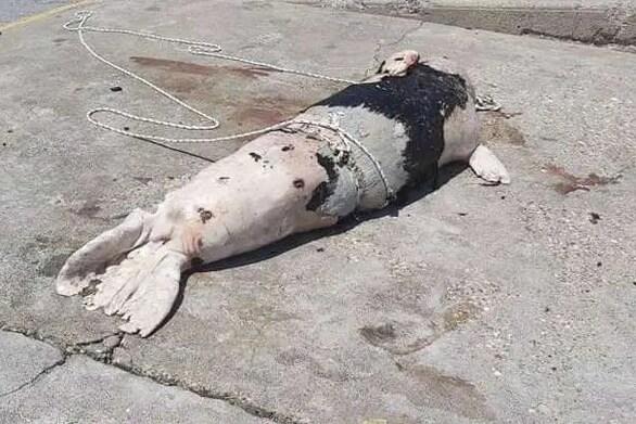 Ξεβράστηκε πυροβολημένη φώκια σε παραλία του Αγίου Νικολάου στην Κρήτη