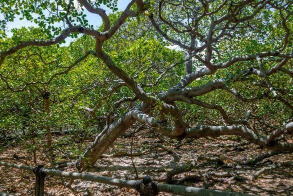 Αυτό είναι το μεγαλύτερο δέντρο κάσιους στον κόσμο
