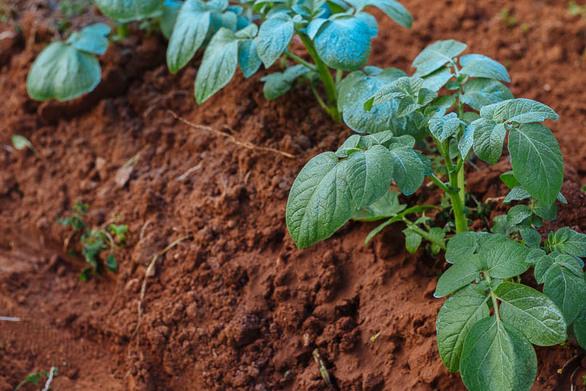 Δυτική Αχαΐα: Ο κορωνοϊός τα έκανε… πατάτα σε καλλιεργητές και παραγωγούς