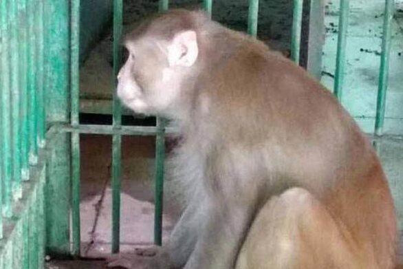 Ινδία: Αλκοολική μαϊμού σκόρπισε τον τρόμο και τον θάνατο