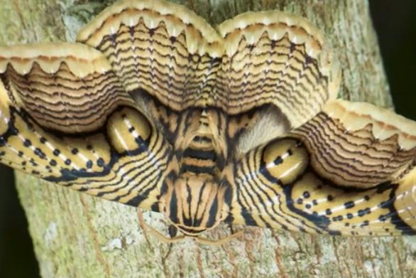 Φτερά νυχτοπεταλούδας θυμίζουν το βλέμμα της τίγρης (video)