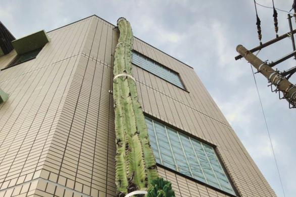 Κάκτος φτάνει σε ύψος τριώροφο κτήριο (φωτο)