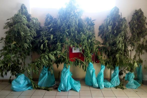 Συνελήφθησαν δυο άτομα σε χωριό της Αιγιαλείας για καλλιέργεια ναρκωτικών