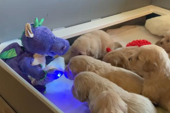 Κουτάβια Golden Retriever μαγεύονται από έναν... δράκο (video)
