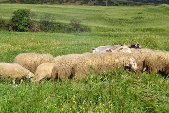 """Λαϊκή Συσπείρωση Δυτ. Ελλάδας: """"Oι κτηνοτρόφοι είναι απροστάτευτοι μπροστά στον καταρροϊκό πυρετό"""""""