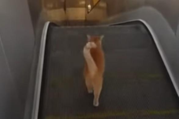 Γάτα προσπαθεί να χρησιμοποιήσει αντίθετη κυλιόμενη σκάλα (video)