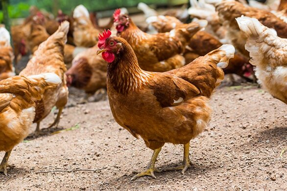 Φρίκη στη Βρετανία - Άνδρας κακοποιούσε σεξουαλικά τις κότες του (φωτο)