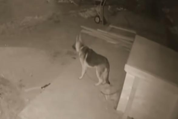 Γερμανικός ποιμενικός έρχεται αντιμέτωπος με λύκο (video)