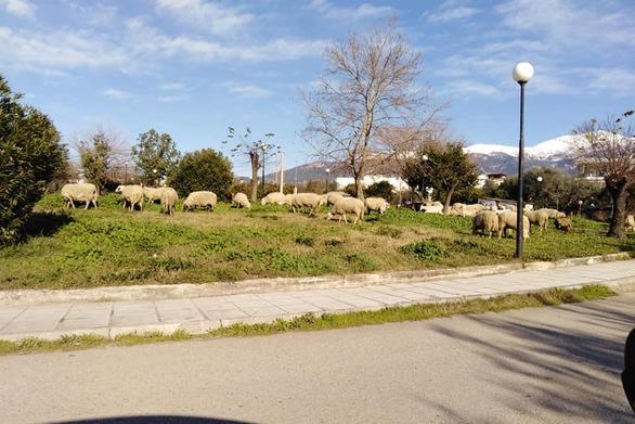 Στην Πάτρα δεν κατέβηκαν… αρκούδες, είδαμε όμως πρόβατα!