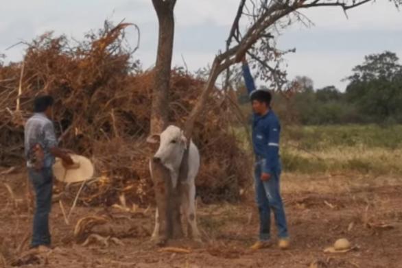 Ταύρος ευχαριστεί τους διασώστες του με μια… κουτουλιά (video)