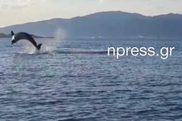 """Ναύπακτος: Δελφίνια """"παίζουν"""" πολύ κοντά στην παραλία της Ψανής (video)"""