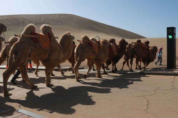 Στην Κίνα έβαλαν φανάρι για… καμήλες - Το πρώτο στον κόσμο