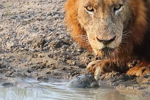 Xελώνα τα βάζει με λιοντάρια που προσπαθούν να πιούν νερό (video)