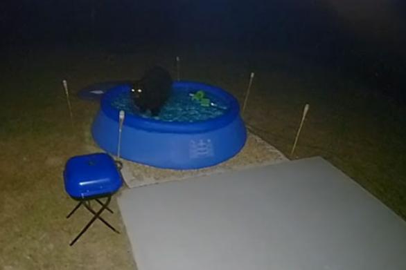 Αρκούδα αφαιρεί το κάλυμμα πισίνας για να κάνει βραδινό μπανάκι (video)