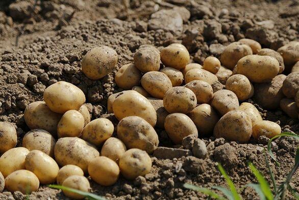 """Κλαίνε με """"μαύρο"""" δάκρυ οι παραγωγοί πατάτας στη Δυτική Αχαΐα"""
