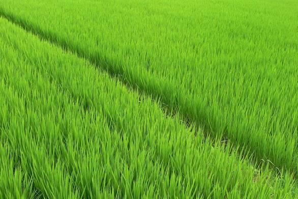 Το ΑΠΘ ερευνά για υπολείμματα φυτοφάρμακων στο ρύζι