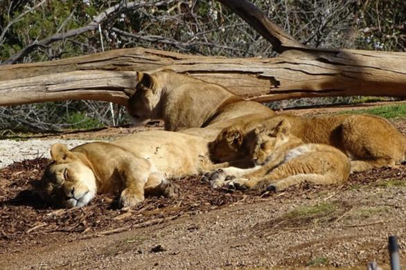 Ουάσιγκτον: Θετικά στον κορωνοϊό 6 λιοντάρια και 3 τίγρεις στον ζωολογικό κήπο