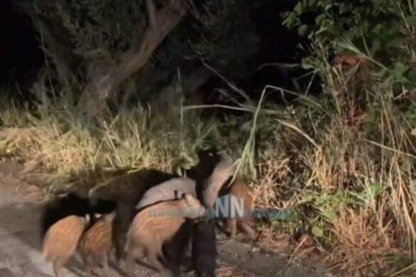 Ναυπακτία: Αγριογούρουνα κάνουν βόλτα στο δρόμο δίπλα σε σπίτια! (video)
