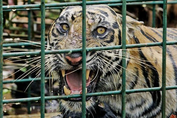 Σοκαριστικό βίντεο: Τίγρης ξεσκίζει θηριοδαμαστή!