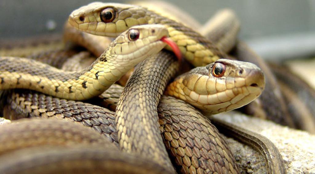 Ιαπωνικό φίδι σεξ