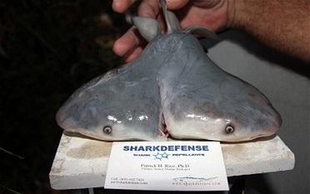 καρχαρίες που χρονολογούνται