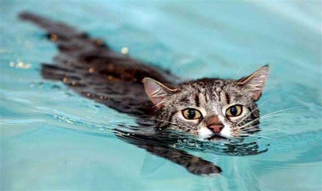 3b8bda980d0f Τι σημαίνει αυτό  Πως εάν κάποιος αναγκάσει μια γάτα να μπει στο νερό χωρίς  ...