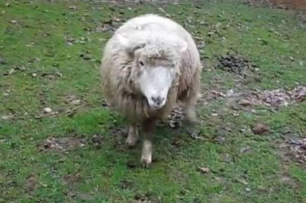 σεξ με πρόβατα βίντεο σεξ μασάζ βίντεο XXX